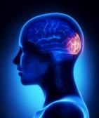 19006204-occipital-lobe--female-brain-anatomy-lateral-view